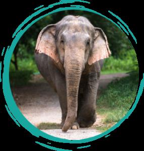 Kammoon female elephant