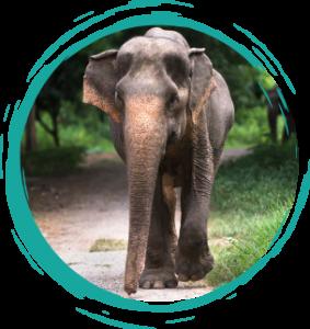 Malee female elephant