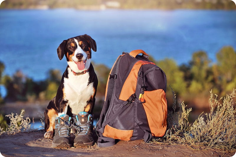 Mountain dog wearing hiking boots sitting next to backpack